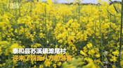 【江西】滩尾油菜花盛开遍地金黄 吸引八方游客-吉安资讯-笨鸟