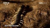 与多米尼克·莫纳汉一起野外探奇 秘鲁巨人蜈蚣