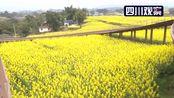 花开四川 | 宜宾南溪:十万亩菜花风景如画