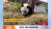 超治愈!秦岭一对龙凤胎大熊猫春天里撒欢,网友纷纷投去羡慕的眼神