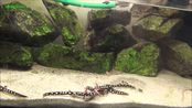 桔星斑螈饲养环境及喂食/Neurergus crocatus Urmia Molch - Urmia Newt