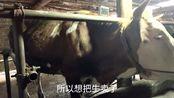 农村老人不小心把腰扭伤了,不得已只能把四头牛卖掉,全是子母牛