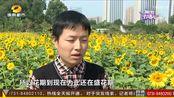 """湖南省植物园:十万株向日葵怒放 新品种""""黑天鹅""""、""""云之恋""""展出"""
