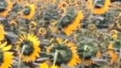 你这个向日葵怎么不向着太阳,有点斜视呢