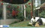 """[新闻直播间]福建福州:""""盼盼""""原型熊猫""""巴斯""""获长寿证书"""