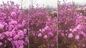 盛开的金达莱,美丽的家乡:吉林延边朝鲜族自治州
