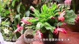 """蟹爪兰盆里埋3-5粒""""黑球"""",叶片翠绿饱满,开满盆的花"""