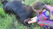 牧民家大黄牛生小牛难产,危急关头主人帮大黄牛接生