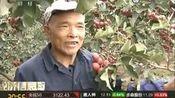青岛平度:果农80多万斤山楂滞销