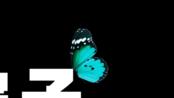 很罗嗦的讲AE:如何用AE的三维层制作一只有遮挡关系的简单蝴蝶。不难,不精,但是够用