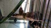 江苏省盐城市转让背甲20厘米猪鼻龟价格1200元 手机:15950227289
