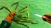 海底现场割蟹钳,这些帝王蟹真惨