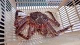 吃帝王蟹时,很多人只吃蟹腿而不吃蟹身,这是浪费?