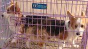 【沙雕二狗子】放学路上碰到两只狗子 竟然在爱的魔力转圈圈~