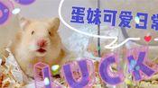 【仓鼠类金丝熊】国庆补班的一天给大家更一个蛋妹近期日常提提神吧~ 换了大笼子的鼠生是不是更开心了呢