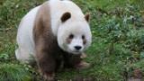 全球唯一棕色大熊猫,没墨水还被妈妈抛弃,熊猫七仔:我太难了!