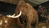 克隆技术又掀新革命,猛犸象或被复活,日后将在北极现身
