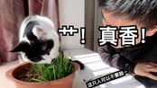 猫咪到底喜欢吃燕麦草还是小麦草?种猫草,真香!wulisaosao