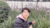 云南农业大学的薰衣草长得不错,在家要怎么养出一样状态的薰衣草