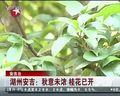 湖州安吉:秋意未浓 桂花已开 [看东方]
