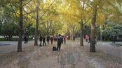"""北京地坛""""银杏大道"""",美不美我不知道,但是很多人在拍照"""