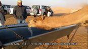 骆驼几周没喝水了!体重减轻40!一看见水便开始猛喝!