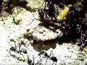 Cataglyphis oasium Keine leichte Beute - YouTube [360p]