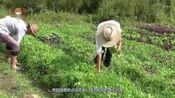 小白菜如何种植甜又香,需要注意什么,看看小闫怎么说
