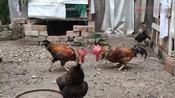 公鸡斗鸡:红子 对战 黑金,赢的当鸡老大