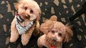 去年飞往美国家庭的泰迪路茜,幸运又幸福,领养反馈#宠物救助