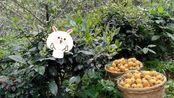 苏州东山白玉枇杷!甜甜甜~同一种水果不一样的体验