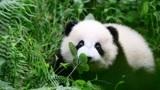 """没了""""黑眼圈""""的熊猫是什么样?四川卧龙惊现全球唯一白色熊猫!"""