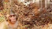 """小猴子的胳膊受伤了,自己孤零零的,看着有一些""""凄凉""""!"""