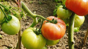 打过激素的番茄,和正常的番茄有什么不同?听听菜农大爷怎么说