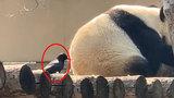 """乌鸦薅熊猫毛被挥爪赶走 网友向森警""""举报"""":这不犯法吗?"""