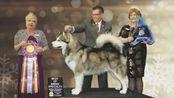 2019年全美国阿拉斯加雪橇犬排行前十!TOP10!