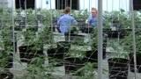 美国大学胆子太肥,首创大麻种植学位,学生报名抢破头