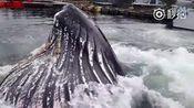 【巨型鲸鱼在码头跃出水面捕食[哆啦A梦害怕]】近日,在美国阿拉斯加的努森湾港口码头
