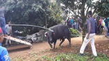 牛气冲天不是白叫的!惹怒了牛,让你颤抖!