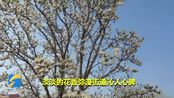 58秒丨潍坊诸城玉兰花开满城 花香弥漫街道沁人心脾