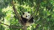 满满的求生欲!四川绵阳4.6级地震,大熊猫丢下竹子5秒上树