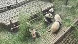 PandaShow_Ai Li gets bored and makes Shuang Xin mad.