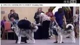 2011美国阿拉斯加雪橇犬国家展1_02