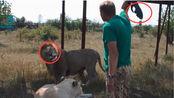 南非农场养狮子像养猪,8000只狮子为何沦落如此?真相你不敢相信!