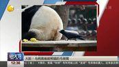 大胆!乌鸦竟偷拔熊猫的毛做窝