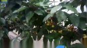 进口水溶肥-山东省肥城樱桃全程使用沃叶,樱桃叶片肥厚浓绿,树势健壮,挂果多,樱桃果大、品质好!