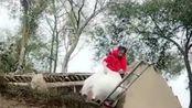农村媳妇儿结婚当天爬上墙头,这是什么奇葩习俗,拿到是要逃婚吗?