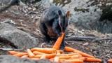 燃眉之需!大火致12.5亿只动物丧失,澳洲空投数吨胡萝卜和甘薯