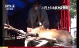 [中国新闻]10头麋鹿运抵河北承德放归野外