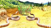 小伙在野外做了个捕蛇陷阱,5小时后收获两条小蟒蛇,不犯法吗